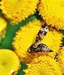 Bohrfliege(Oxyna flavipennis(Loew 1844))