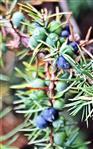 Beerenförmige Wacholderzapfen an Wacholder(Juniperus communis(L.))