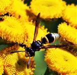 Faltenwespe(Ancistrocerus gazella(Panzer 1798)) beim Blütenbesuch