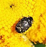 Gemeiner Pelzkäfer(Attagenus pellio(L. 1758))