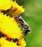Scherenbiene(Chelostoma florisomme(L. 1758)) beim Blütenbesuch