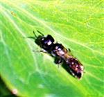 Grabwespe(Diodontus minutus(Fabricius 1793))