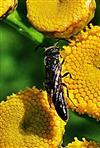 Grabwespe(Trypoxylon figulus(L. 1758)) beim Blütenbesuch