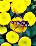 Hainschwebfliege(Episyrphus balteatus(De Geer 1776)) beim Blütenbesuch