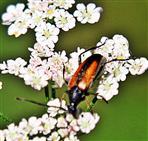Kleiner oder Gemeiner Schmalbock(Stenurella melanura(L. 1758))