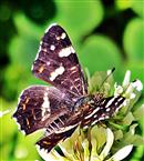 Landkärtchen(Araschnia levana(L. 1758) f. prorsa)(Sommergeneration)