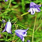 Blüten einer Wiesenglockenblume(Campanula patula(L.))