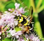 Zweiband-Wespenschwebfliege(Chrysotoxum bicinctum(L. 1758))