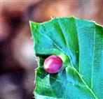 Galle der Buchengallmücke(Mikiola fagi(Hart.) auf einem Rotbuchenblatt(Fagus sylvatica(L.))