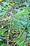 Gallen an Himbeere(Rubus idaeus(L.)) verursacht durch die Gallmücke(Lasioptera rubri)