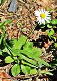Gänseblümchen(Bellis perennis(L.))