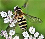 Gemeine Gartenschwebfliege(Syrphus ribesii(L. 1758))