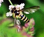 Gewöhnliche bzw. Gemeine Langbauch- oder Stiftschwebfliege(Sphaerophoria scripta(L. 1758)) beim Blütenbesuch