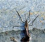 Asiatische Tigermücke(Aedes albopictus(Skuse 1894))