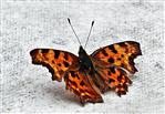 C-Falter(Polygonia c-album(L. 1758))(männlich) sich sonnend