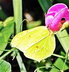 männlicher Zitronenfalter(Gonepteryx rhamni(L. 1758))