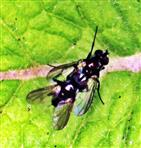 Kopulation bei Schmeißfliegen(Melanomya nana(Meigen 1826))