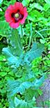 Schlafmohn(Papaver somniferum(L.))