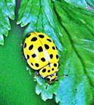 22-Punkt-Marienkäfer(Psyllobora vigintiduopunctata(L. 1758))