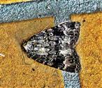 Pyramideneule(Amphipyra pyramidea(Ochsenheimer 1816))