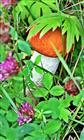Weißstielige Rotkappe(Leccinum leucopodium(Pers.)Dörfelt&G. Berg))