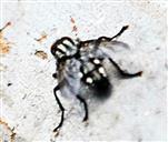 Fleischfliege(Sarcophaga carnaria(L. 1758)) ruhend