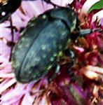 Der Kratzdistelrüssler(Larinus turbinatus(Gyllenhal 1835)) beim Blütenbesuch
