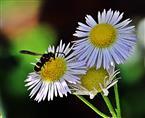 Faltenwespe(Ancistrocerus gazella(Panzer 1798)) beim Blütenbesuch auf einem Gänseblümchen(Bellis pereinnis(L.))
