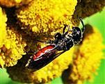 Gemeine Blutbiene(Sphecodes ephippius(L. 1767)) beim Blütenbesuch