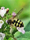 Gemeine Feldschwebfliege(Eupeodes corollae(Fabricius 1794)) beim Blütenbesuch 01