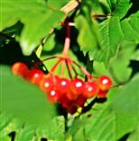 Gewöhnliche oder Rote Heckenkirsche(Lonicera xylosteum(L.))