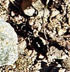 Schwarze Wegameise(Geschlechtstier - Jungkönigin(Lasius niger(L. 1758)) auf der Suche nach einer Möglichkeit zur Nestgründung