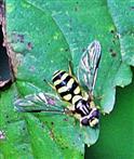 Gestreifte Waldschwebfliege(Dasysyrphus albostriatus(Fallen 1817)) 01