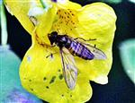 Hainschwebfliege(Episyrphus balteatus(De Geer 1776)) beim Blütenbesuch eines Großen Springkrautes(Impatiens noli-tangere(L.))