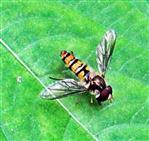 Hainschwebfliege(Episyrphus balteatus(De Geer 1776)) ruhend