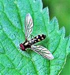 Goldhalsschwebfliege(Meliscaeva auricollis(Meigen 1822)) ruhend
