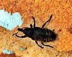 Kratzdistelrüssler(Larinus turbinatus(Gyllenhall 1835)) ruhend