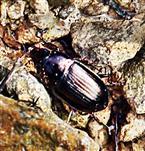 Haarrand-Schnellläufer(Harpalinus affinis(Schrank 1781))