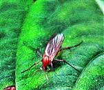 Pilzmücke(Mycetophila (vielleicht) fungorum(De Geer 1776))