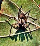 Erd-Wolfspinne(Trochosa terricola(Thorell 1856))