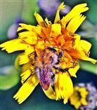Ackerhummel(Bombus pascuorum(Scopoli 1763)) an einer Blüte des Wald-Habichtskrautes(Hieracium murorum(L.))