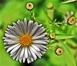 Blüte des Feinstrahls bzw. Einjährigen Berufskrautes(Erigeron annuum(L. ) Desf.)