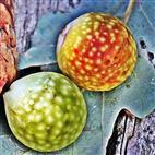 Zwei Pflanzengallen der Gemeinen Eichengallwespe(Cynips quercusfolii(L. 1758))