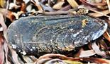 Gemeine Miesmuschel(Mytilus edulis(L. 1758)) im Spülsaum