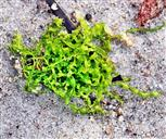Grünalge Darmtang(Enteromorpha spec.)