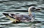 Silbermöwe(Larus argentatus(Pontoppidan 1763)) in der Ostsee schwimmend