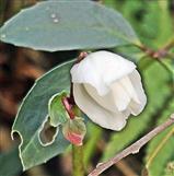 Blüten einer stinkenden Nieswurz bzw. Christrose(Helleborus niger(L.))