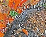 Geweihförmige Holzkeule(Xylaria hypoxylon(L.)Grev.)