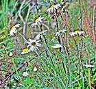 Wiesen-Margerite(Leucanthemum vulgare (agg.)(L.))