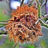 Letzjähriger Schlafapfel der Gemeinen Rosengallwespe(Diplolepis rosae(L. 1758))
